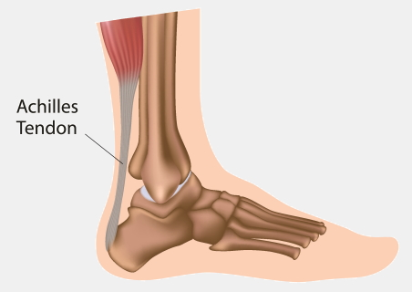 Achilles tendon, a band of tendon joining your calf muscle to your heel at the back of your ankle