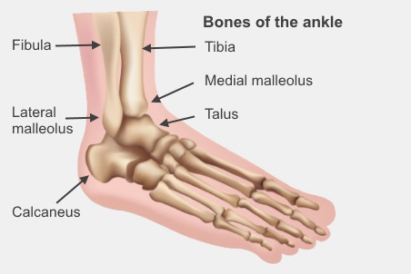 The bones of the ankle are the fibula and tibia in your calf, the lateral and medial malleolus in your ankle, and the talus and calcaneus in your foot