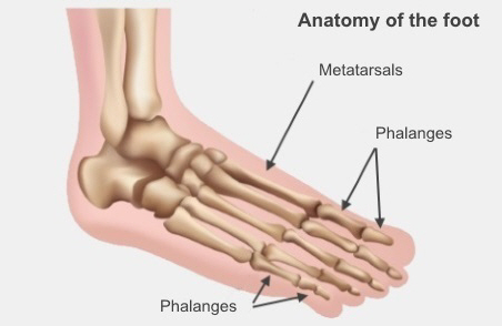 Foot anatomy, showing your metatarsals and your phalanges. Metatarsals are the long bones in your foot, phalanges are the bones in your toes