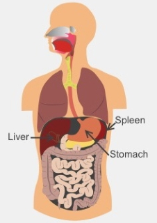 Your spleen is on the left side of your body, just under your rib cage, beside your stomach